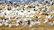 Snow Geese Flock Together Spring Migration Wild Birds Take Flight video