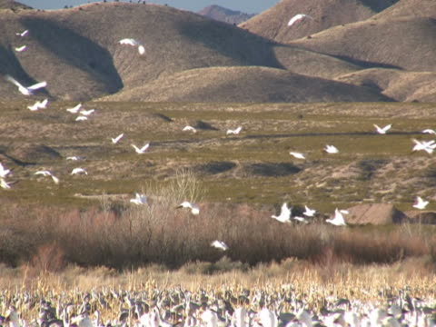 NTSC: Snow Geese Flying video
