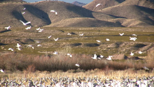 HD: Snow Geese Flying video