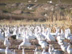 NTSC: Snow Geese in a Field video