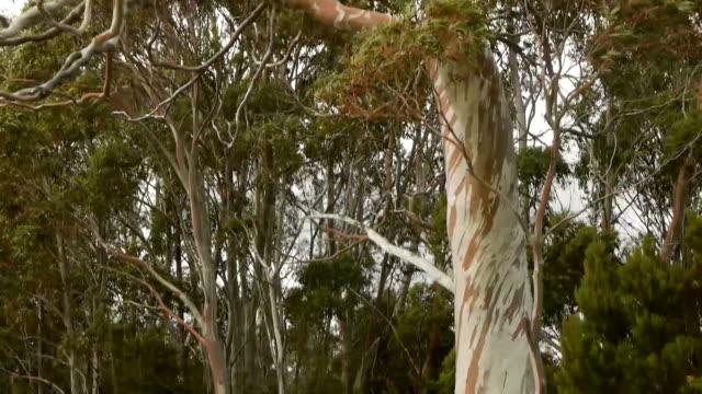 Snow Gum (Australia) video
