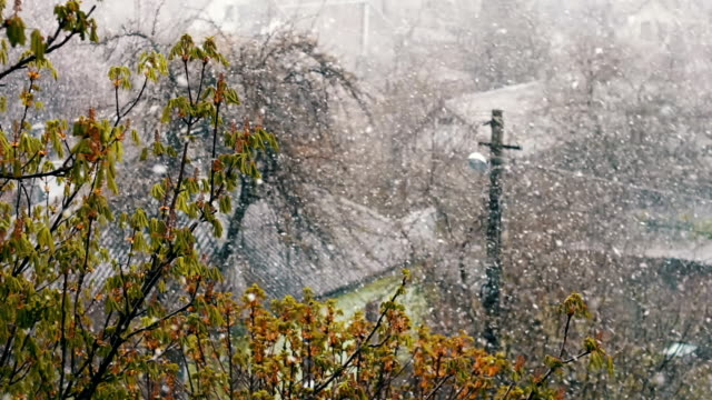 Snow in spring.Snow falls on the street trees in green foliage and blooming. video