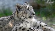 Snow Leopard Cub video