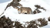 Snow Leopard walking along a rocky ledge video