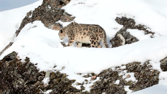 Snow Leopard walking along a rocky ledge video