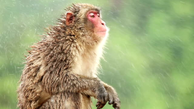 Snow Monkey (Japanese Macaque) in the Rain video