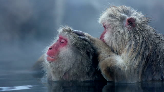 HD: Snow Monkey Japanese Macaque family in Onsen Hot Spring video