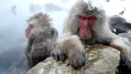 HD VDO: Snow Monkey video