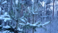 Snow on pine branch. video