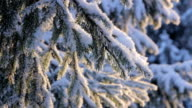 Snow on the pine branch video
