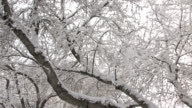 Snow on tree branches video