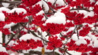 Snow-covered red bunches of rowan in the snow video