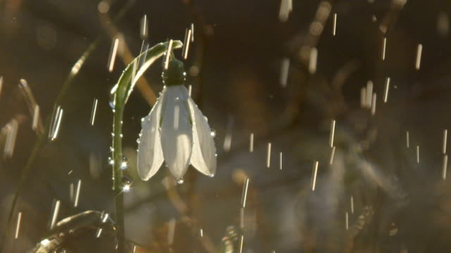 CLOSE UP: Snowdrop flower during the light spring showers on sunny day in forest video