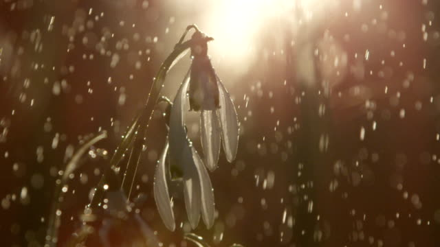 CLOSE UP: Snowdrop flowers during the light shower on sunny golden light morning video