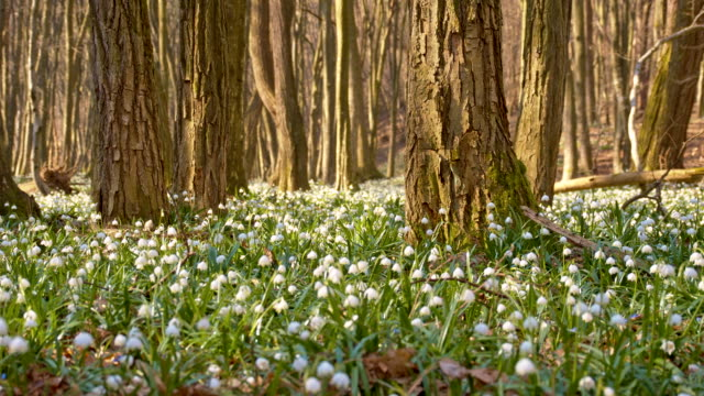 DS Snowdrops among trees video