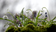 Snowdrops and other spring flowers in a rainy. Selective focus video