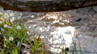 DS Snowdrops by the creek in forest video