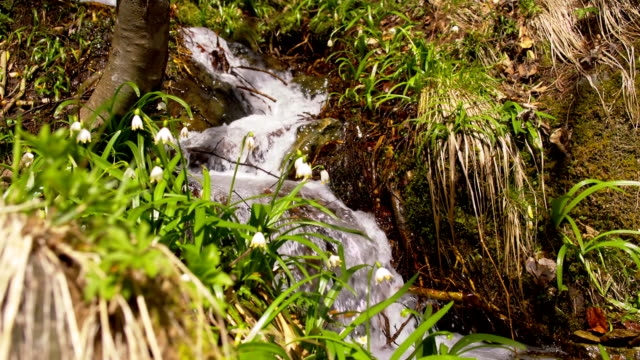 SLO MO Snowdrops growing by a rapid stream video