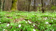 Snowdrops in the forest. video