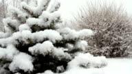 Snowfall asleep spruce in the park with snow video