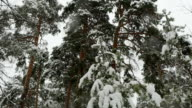 Snowfall in a winter  pine forest with snow covered trees. video