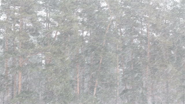 Snowfall on the background of pine forest. video