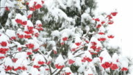 Snowing on white and green background with red rowan berries video