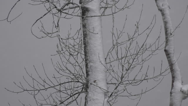 Snowstorm Covering Tree Branches video