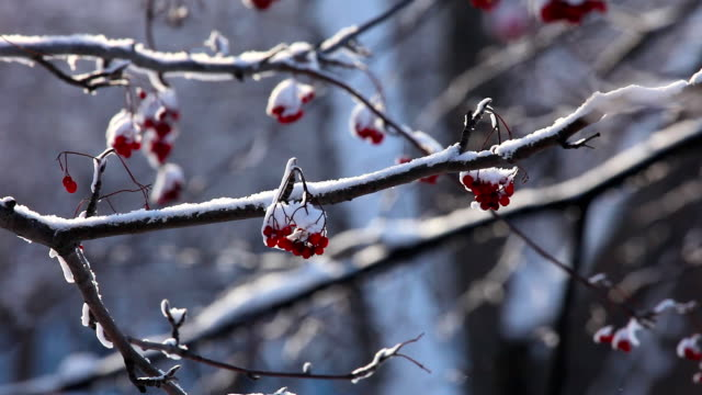 Snowy ashberry. video