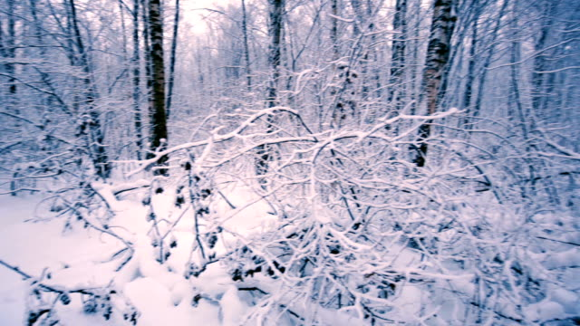Snowy branches in forest. video
