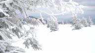 Snowy fir trees video