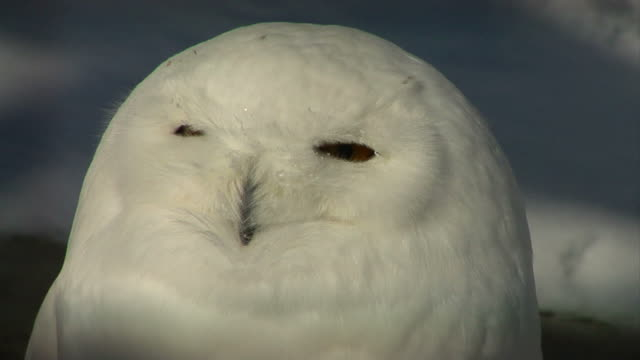 Snowy owl extreme close-up video