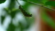 Soft Furry Caterpillar Hangs Upside Down Feasting On Leaf video