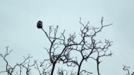 Solitary crow video