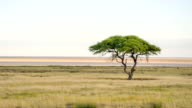 LS Solitary Tree In African Savannah video