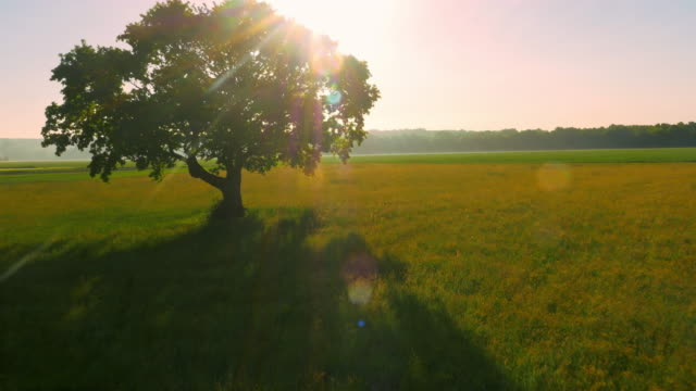 AERIAL Solitary tree in the meadow at sunset video