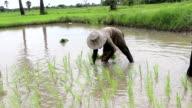 Solo farmer plant rice video