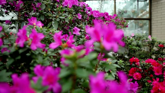Some Azaleas Violet Flowers on Bush Branch on Background of Glass of Greenhouses   Focus Change video