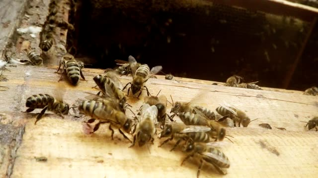 Some Bees Creep on Opened Hive Behind Honeycomb Its Brethren Macro video