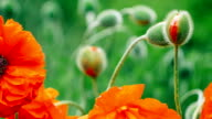 Some of decorative red poppy flower in spring day, close up, 1080p video
