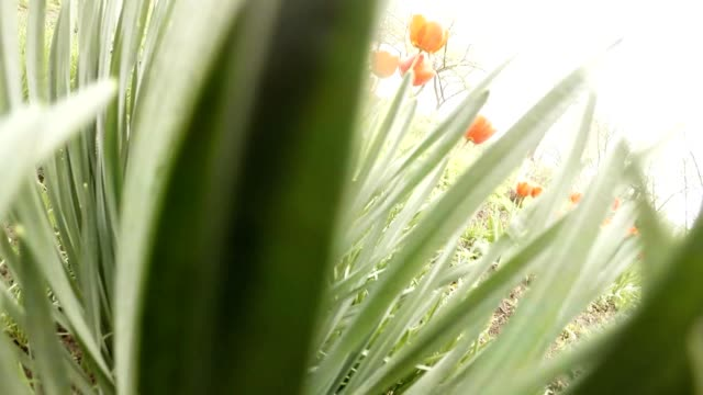 Someone Comes Through Dense Thickets of Herb Beside Red-Flowered Tulips Pov video