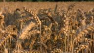 Sonnenuntergang - Weizenfeld bei Hameln video