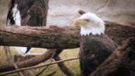 Bald Eagle video