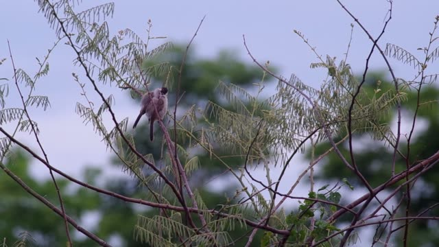 Sooty-headed Bulbul take care each other video