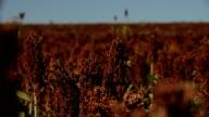 Sorghum planting. video