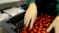 Sorting and packing-harvest tomato video