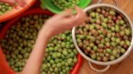 Sorting olive harvest video