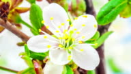 Soru cherry flower blooming in a time lapse video