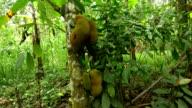 LS Soursop Tree video