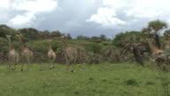 South africa Giraffe video